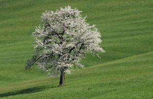 Einsamer Baum in Haselbach